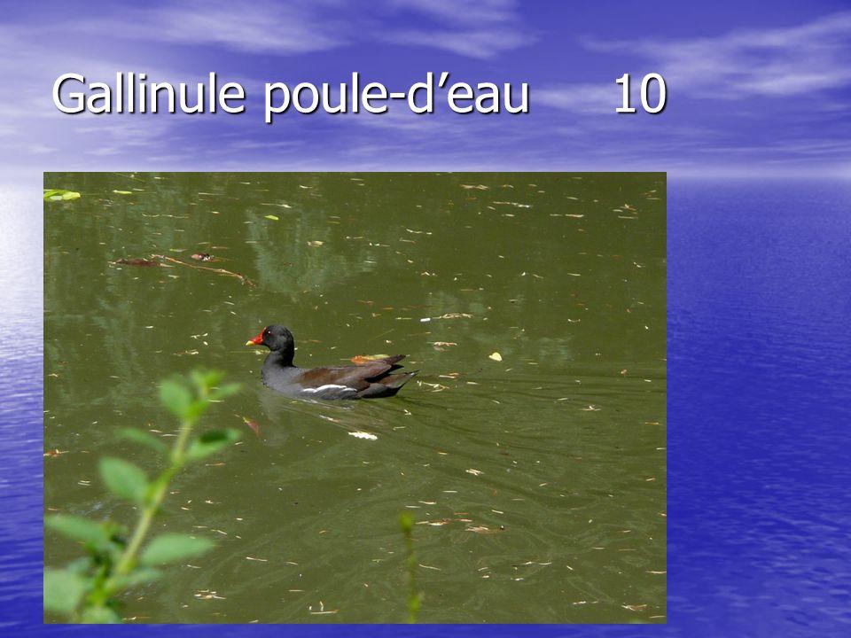 Gallinule poule-deau 10