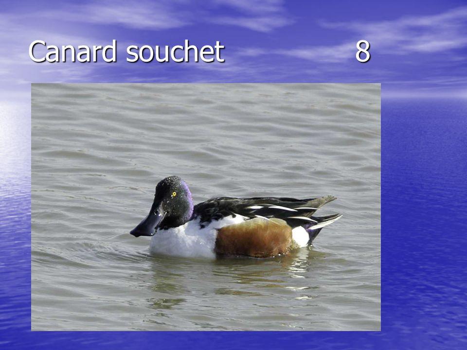Canard souchet8