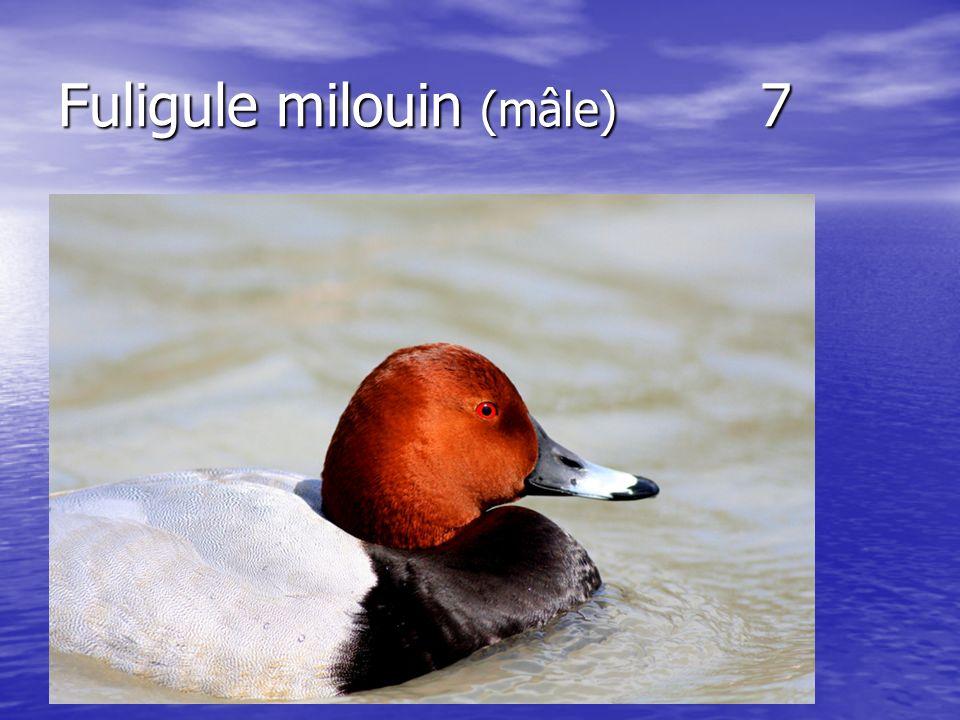 Fuligule milouin (mâle) 7