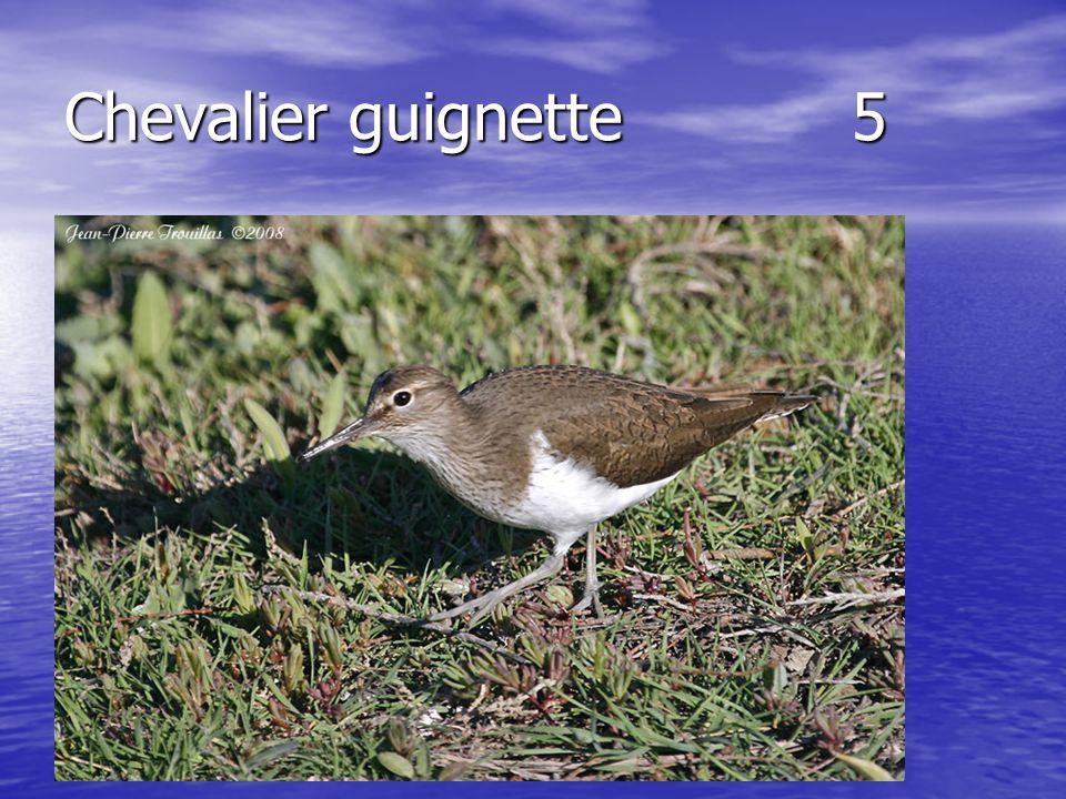 Chevalier guignette 5