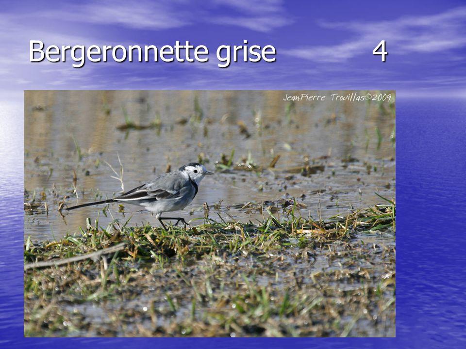 Bergeronnette grise 4