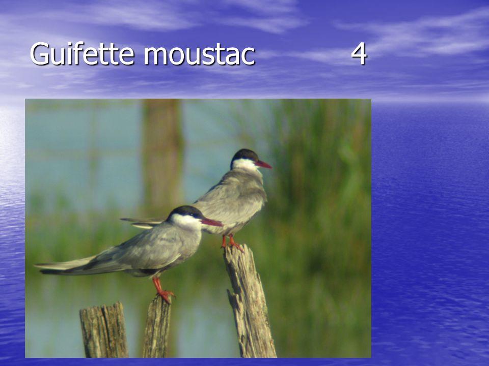 Guifette moustac 4
