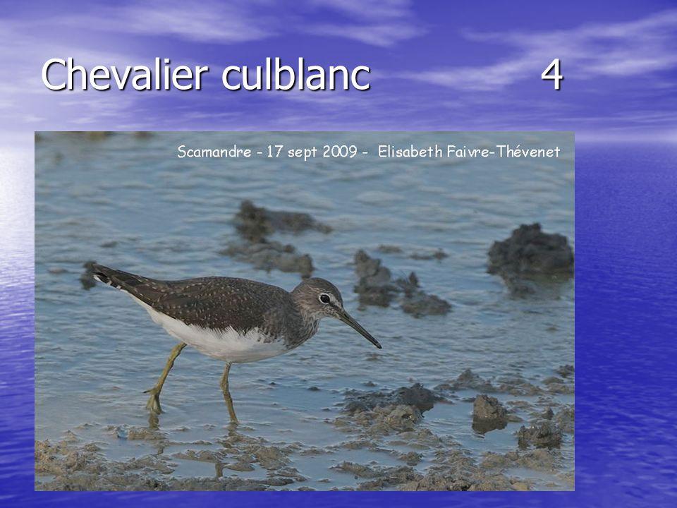 Chevalier culblanc 4