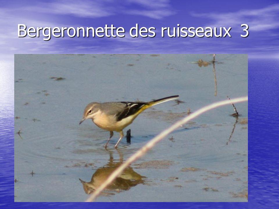 Bergeronnette des ruisseaux3