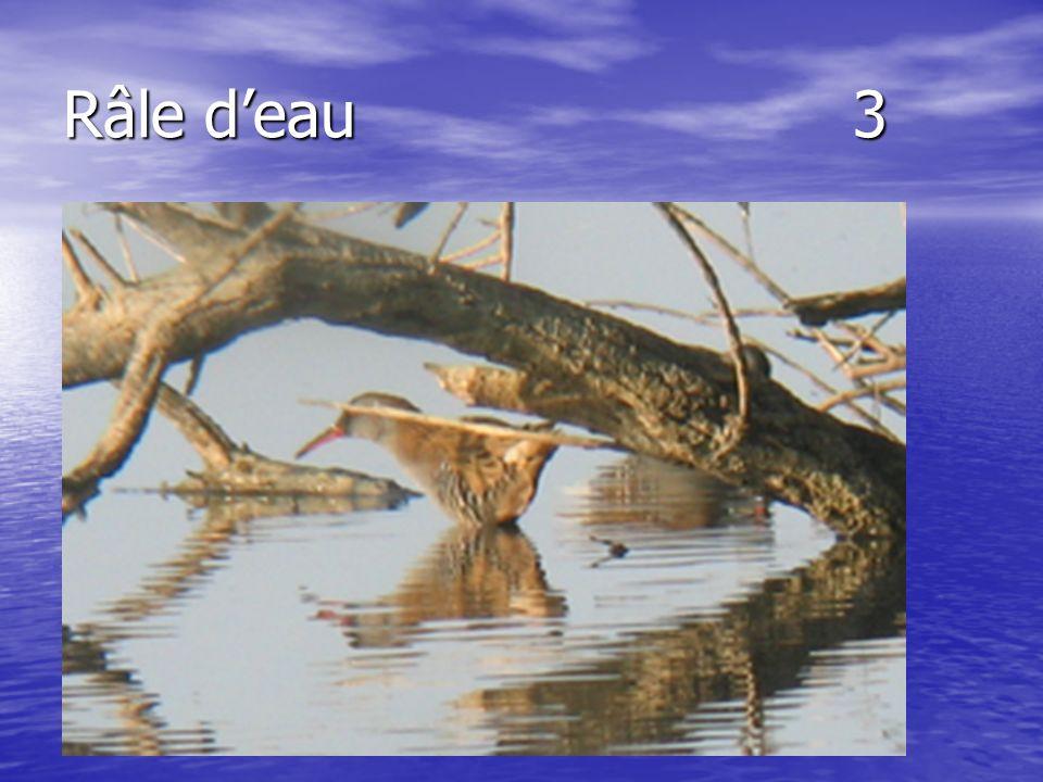 Râle deau 3