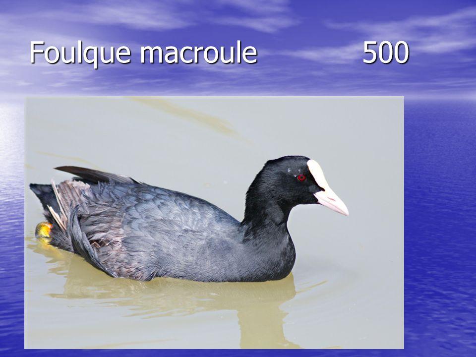 Foulque macroule500