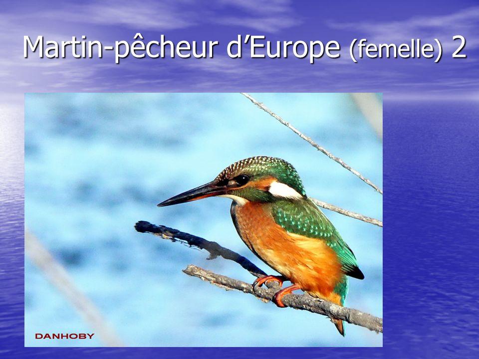 Martin-pêcheur dEurope (femelle) 2