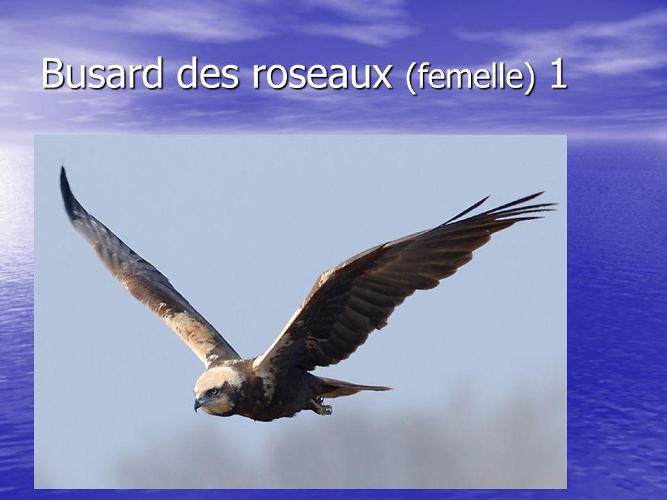 Busard des roseaux (femelle) 1