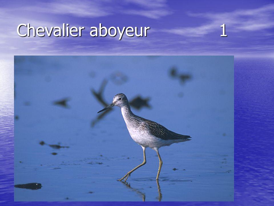 Chevalier aboyeur 1