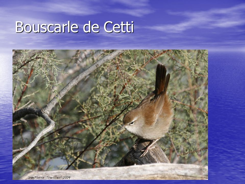 Bouscarle de Cetti