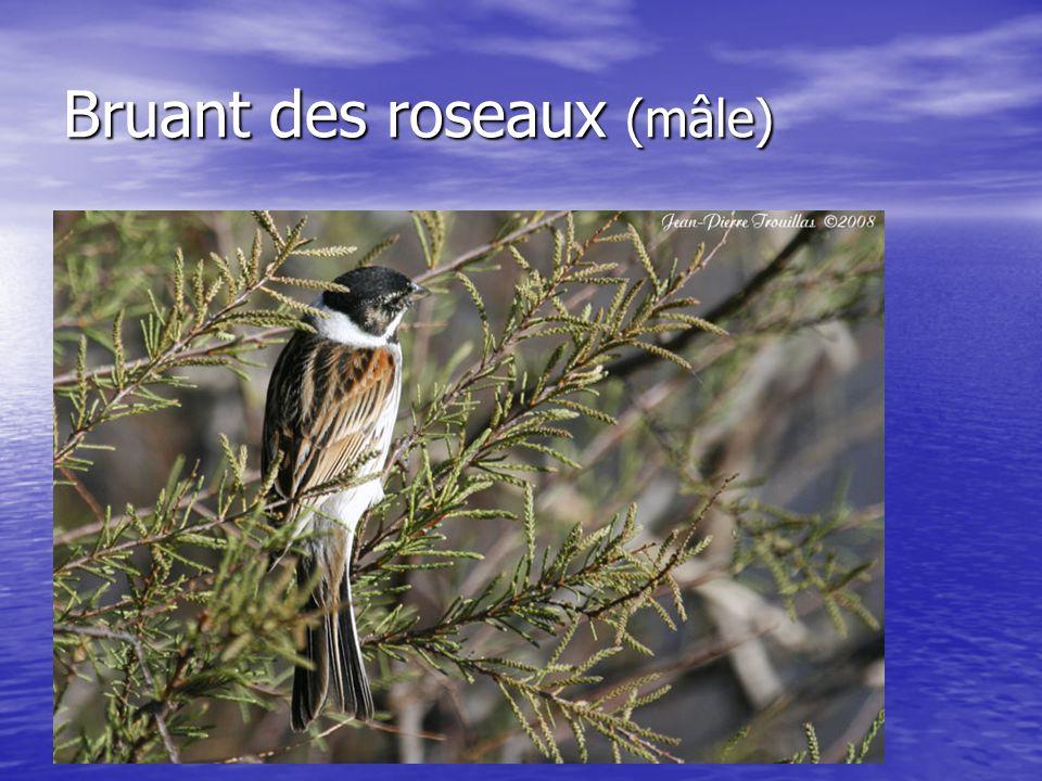 Bruant des roseaux (mâle)