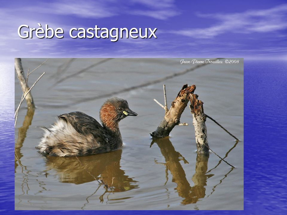 Grèbe castagneux