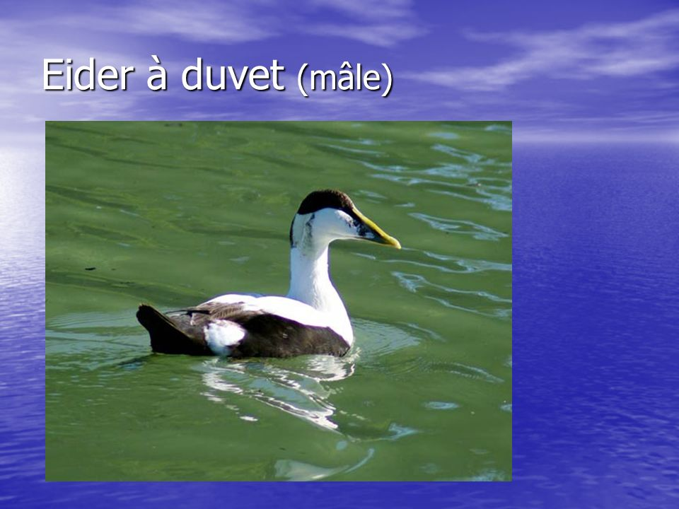 Eider à duvet (mâle)