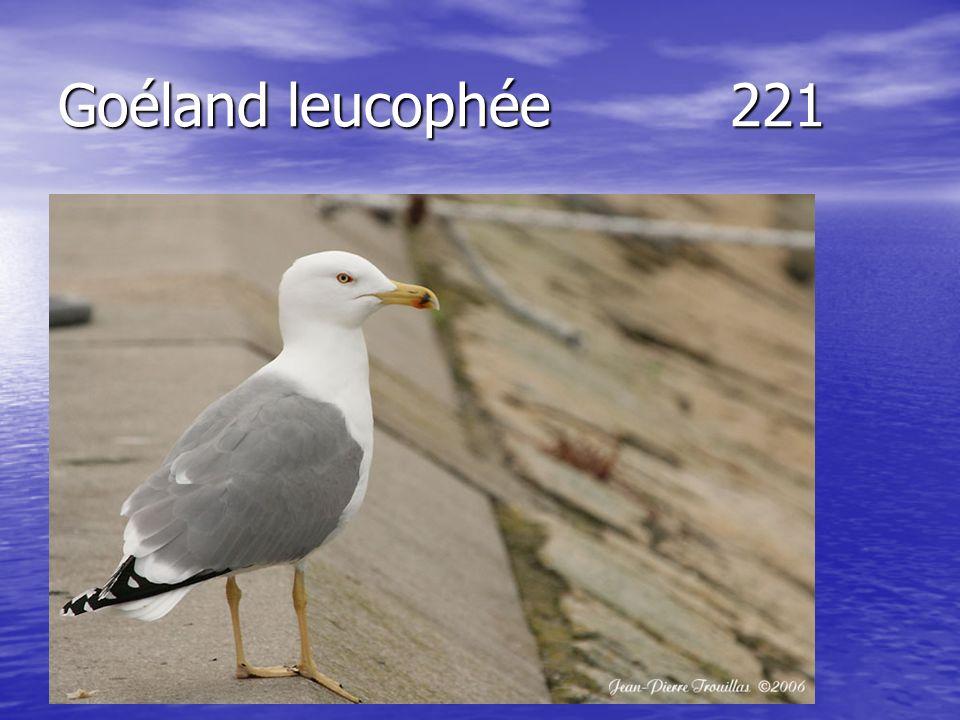 Goéland leucophée221