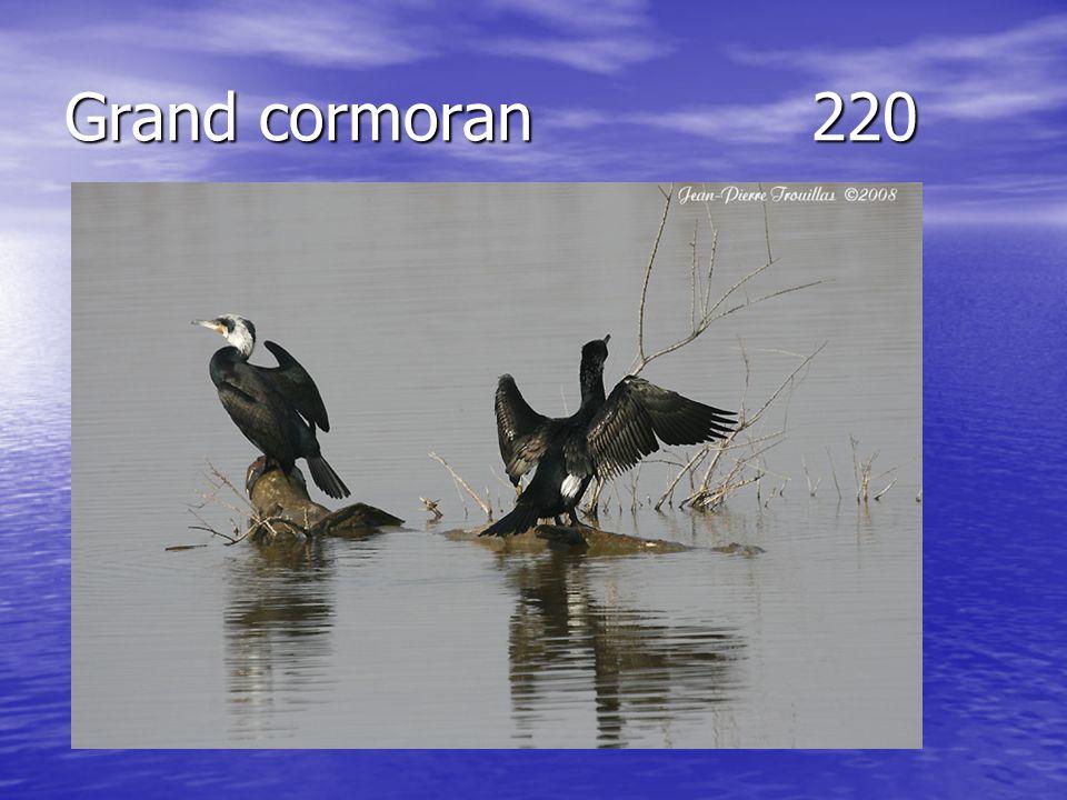 Grand cormoran220