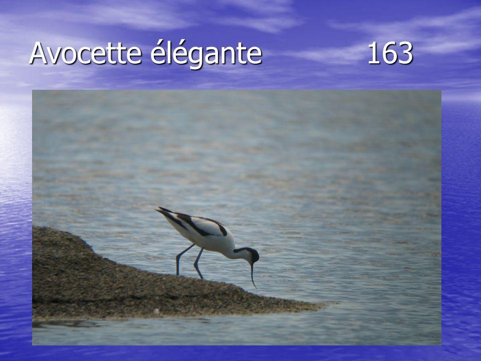Avocette élégante163