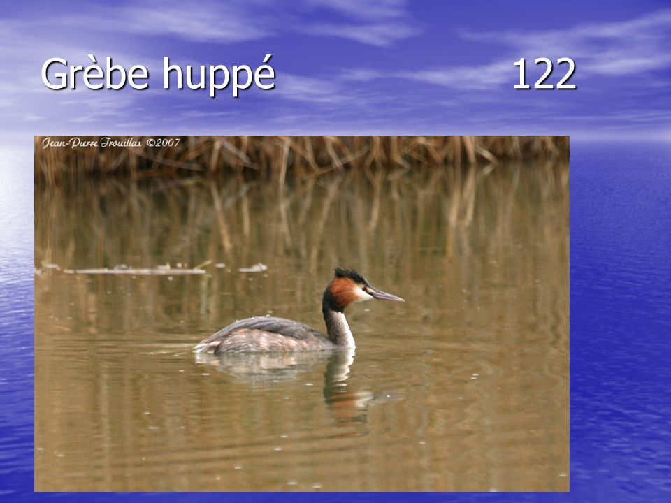 Grèbe huppé122
