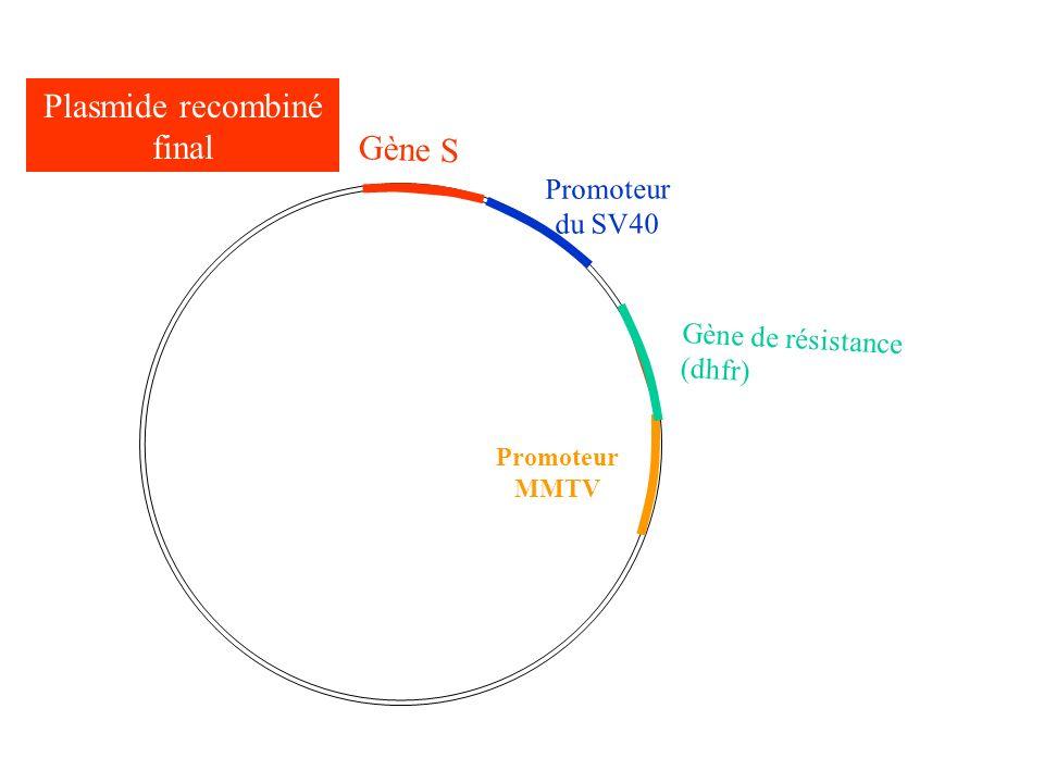 Plasmide recombiné final Gène S Promoteur du SV40 Promoteur MMTV Gène de résistance (dhfr)