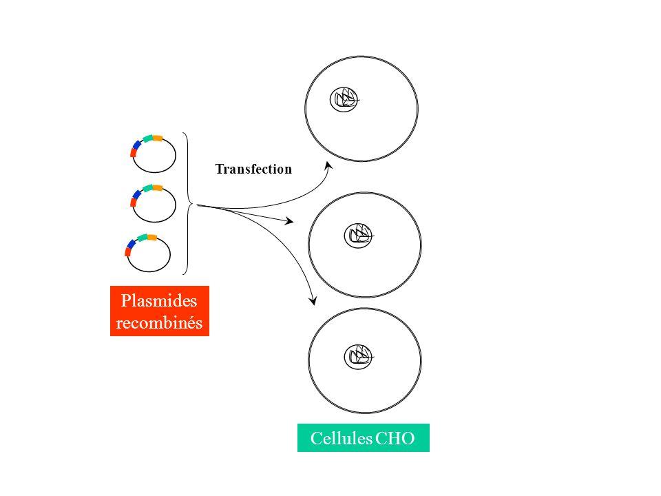 Plasmides recombinés Cellules CHO Transfection
