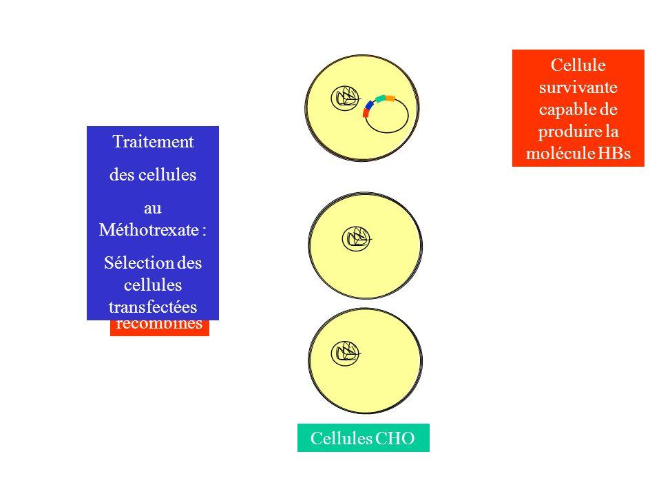 Plasmides recombinés Cellules CHO Traitement des cellules au Méthotrexate : Sélection des cellules transfectées Cellule survivante capable de produire