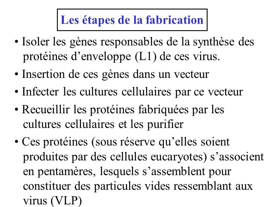 Isoler les gènes responsables de la synthèse des protéines denveloppe (L1) de ces virus. Insertion de ces gènes dans un vecteur Infecter les cultures
