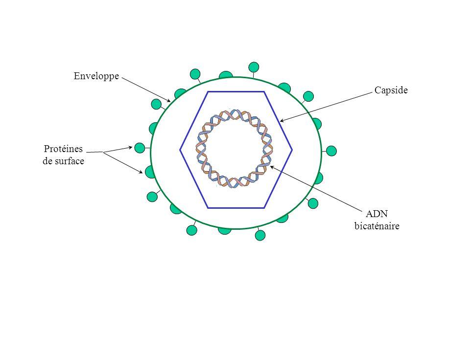 Protéines de surface Enveloppe ADN bicaténaire Capside
