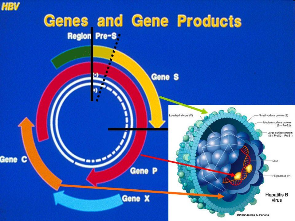 VHB, le virus à ADN qui a le plus petit génome?