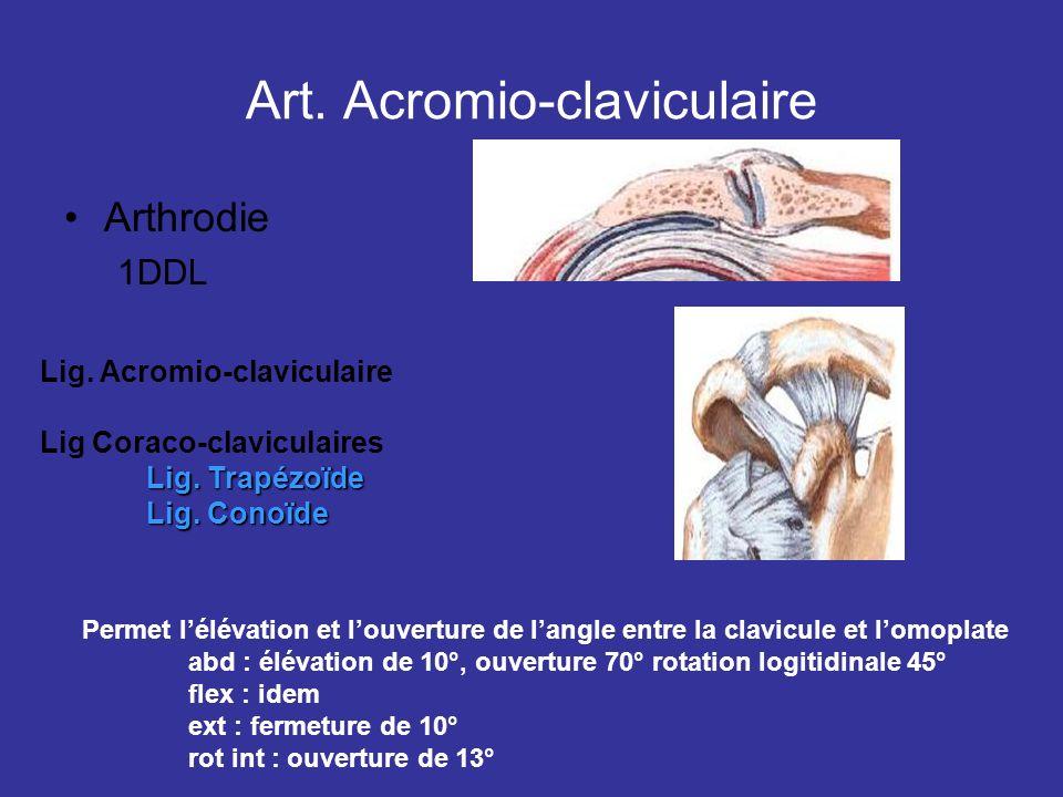 Art. Acromio-claviculaire Arthrodie 1DDL Lig. Acromio-claviculaire Lig Coraco-claviculaires Lig. Trapézoïde Lig. Conoïde Permet lélévation et louvertu