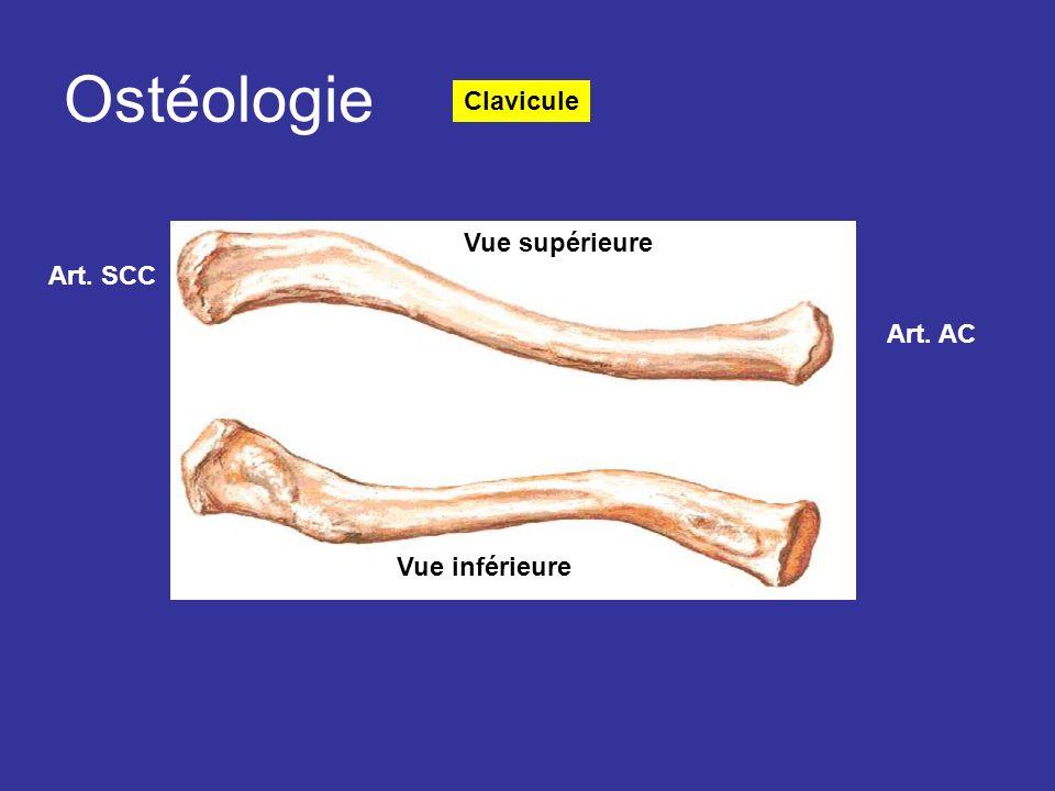 Ostéologie Clavicule Art. SCC Art. AC Vue supérieure Vue inférieure