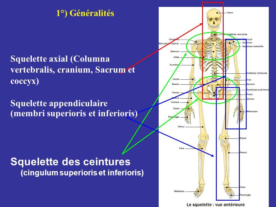Squelette des ceintures (cingulum superioris et inferioris) 1°) Généralités Squelette axial (Columna vertebralis, cranium, Sacrum et coccyx) Squelette