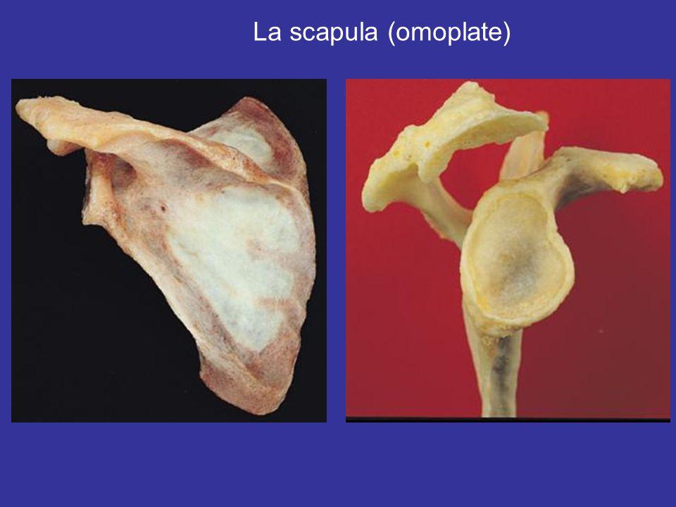 La scapula (omoplate)