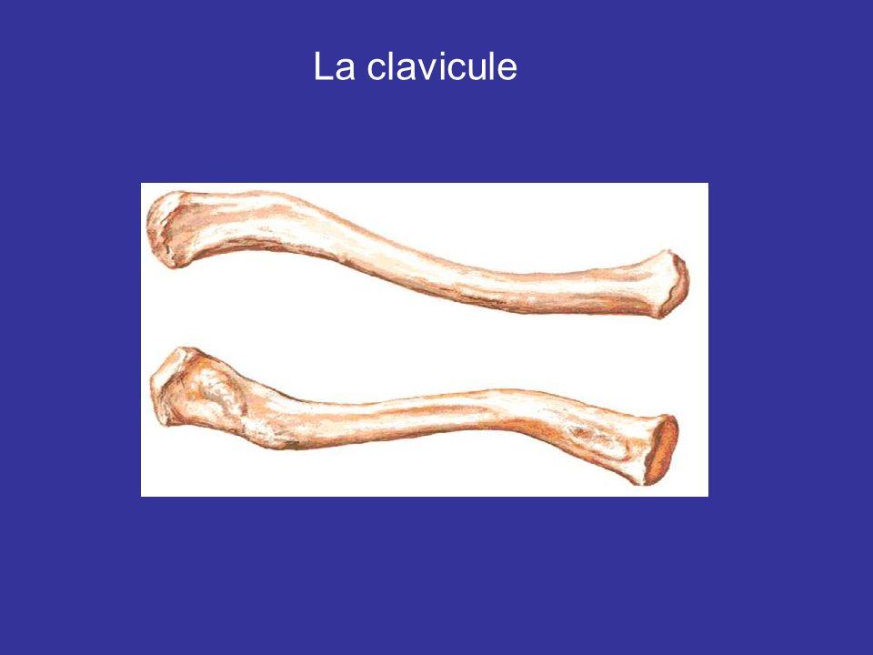 Lhumerus