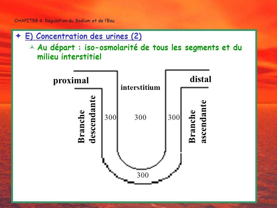 CHAPITRE 4: Régulation du Sodium et de lEau E) Concentration des urines (2) Au départ : iso-osmolarité de tous les segments et du milieu interstitiel