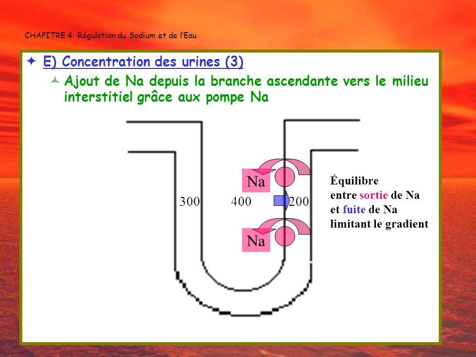 CHAPITRE 4: Régulation du Sodium et de lEau E) Concentration des urines (3) Ajout de Na depuis la branche ascendante vers le milieu interstitiel grâce