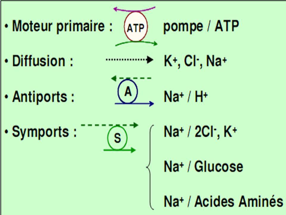 CHAPITRE 8: Devenir des composés organiques A) généralités tube contourné proximal Glucose, AA, Acétates, Vitamines, Lactate,...