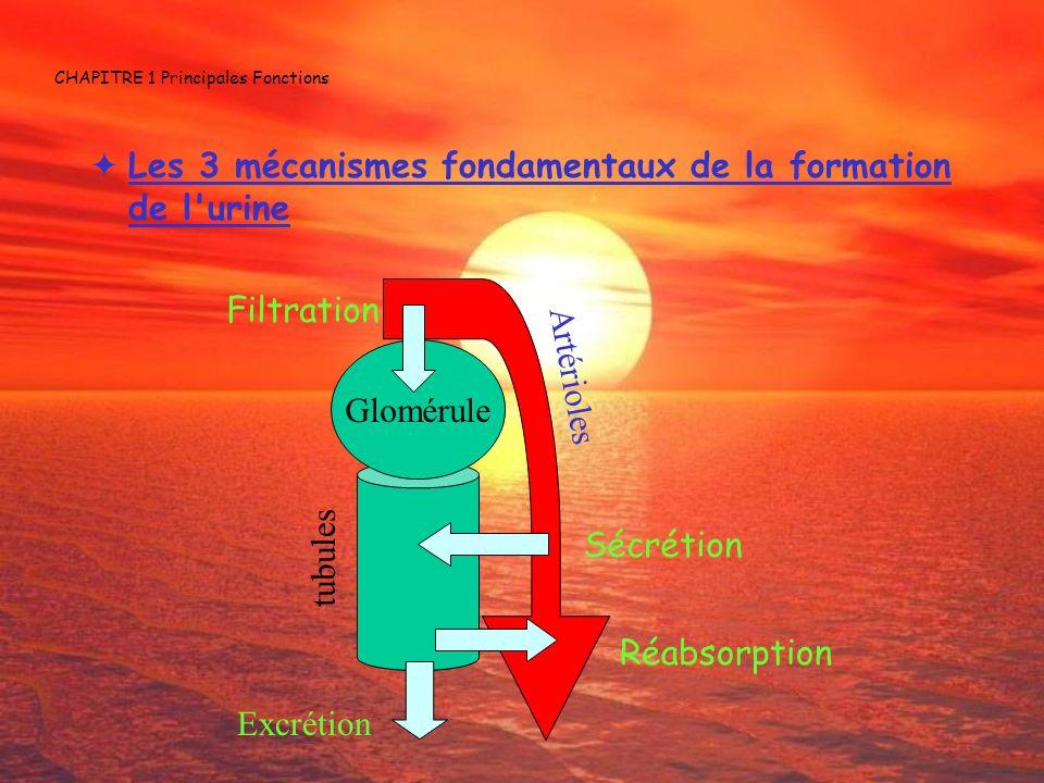 CHAPITRE 1 Principales Fonctions Les 3 mécanismes fondamentaux de la formation de l'urine Glomérule Filtration Sécrétion Réabsorption Excrétion tubule