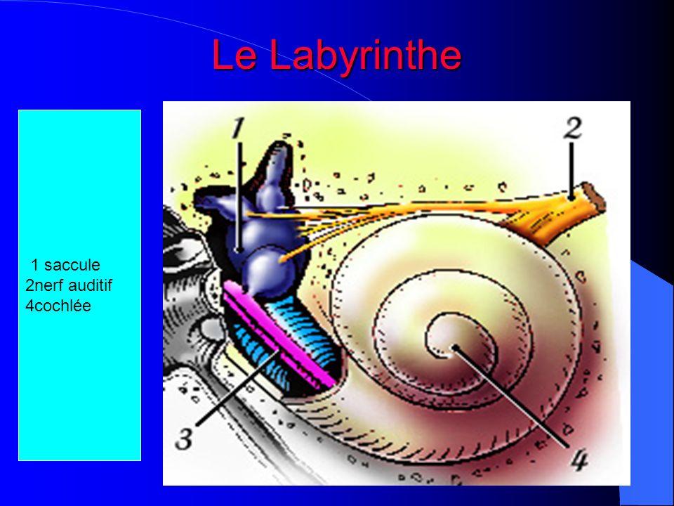 Le Labyrinthe 1 saccule 2nerf auditif 4cochlée