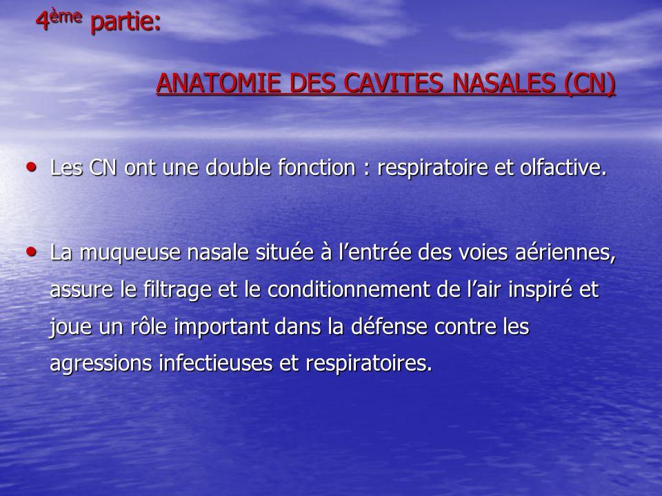 4 ème partie: ANATOMIE DES CAVITES NASALES (CN) Les CN ont une double fonction : respiratoire et olfactive. Les CN ont une double fonction : respirato