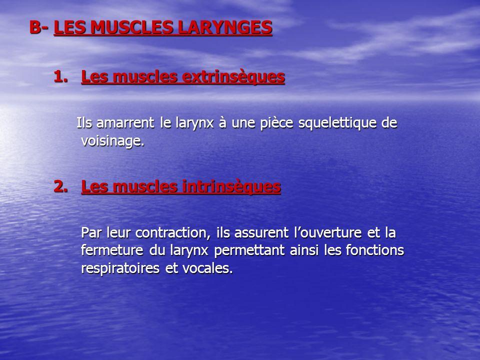B- LES MUSCLES LARYNGES 1.Les muscles extrinsèques Ils amarrent le larynx à une pièce squelettique de voisinage. Ils amarrent le larynx à une pièce sq