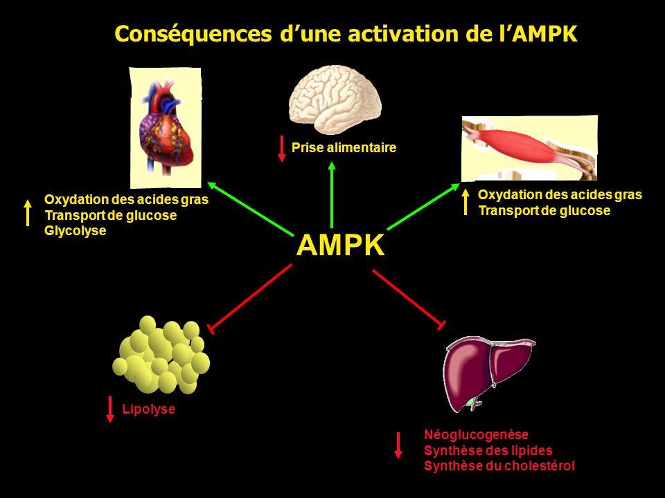 AMPK Oxydation des acides gras Transport de glucose Néoglucogenèse Synthèse des lipides Synthèse du cholestérol Lipolyse Oxydation des acides gras Tra