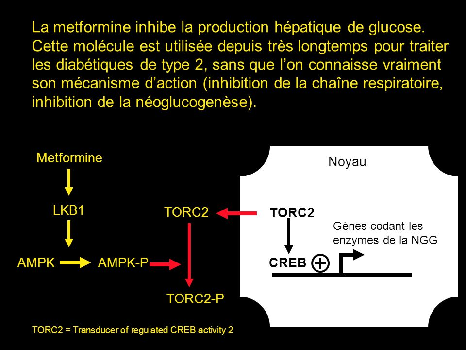 La metformine inhibe la production hépatique de glucose.