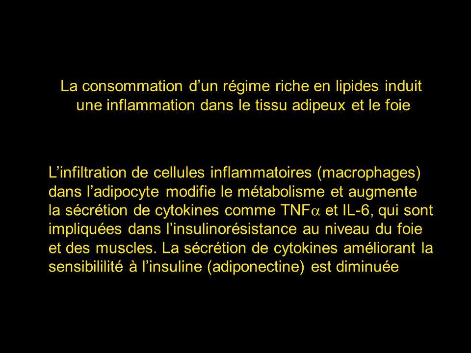 Linfiltration de cellules inflammatoires (macrophages) dans ladipocyte modifie le métabolisme et augmente la sécrétion de cytokines comme TNF et IL-6,