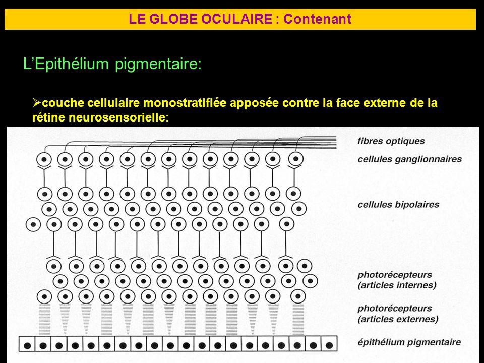 14 LE GLOBE OCULAIRE : Contenant LEpithélium pigmentaire: couche cellulaire monostratifiée apposée contre la face externe de la rétine neurosensoriell