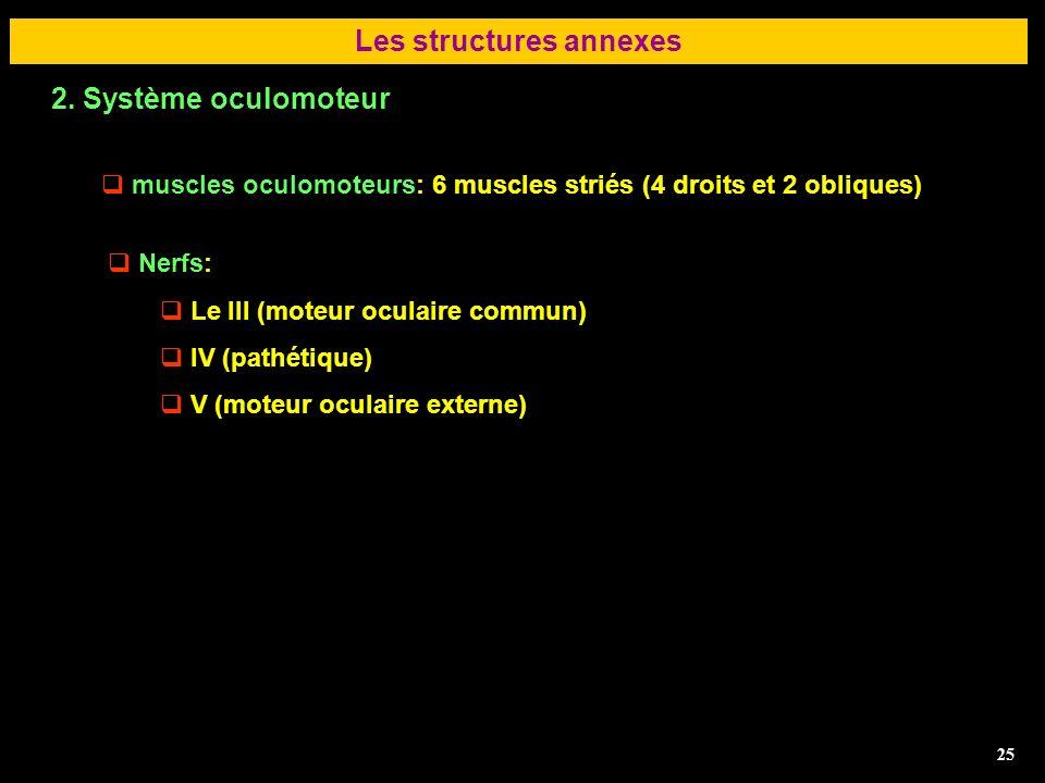 25 Les structures annexes muscles oculomoteurs: 6 muscles striés (4 droits et 2 obliques) 2. Système oculomoteur 25 Nerfs: Le III (moteur oculaire com