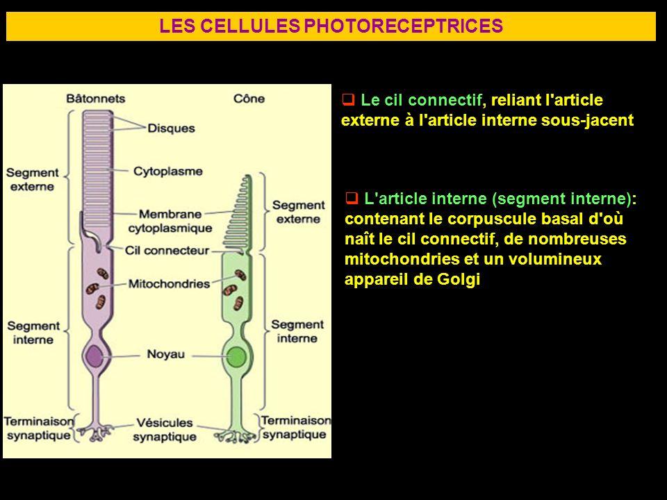 27 LES CELLULES PHOTORECEPTRICES Le cil connectif, reliant l'article externe à l'article interne sous-jacent L'article interne (segment interne): cont