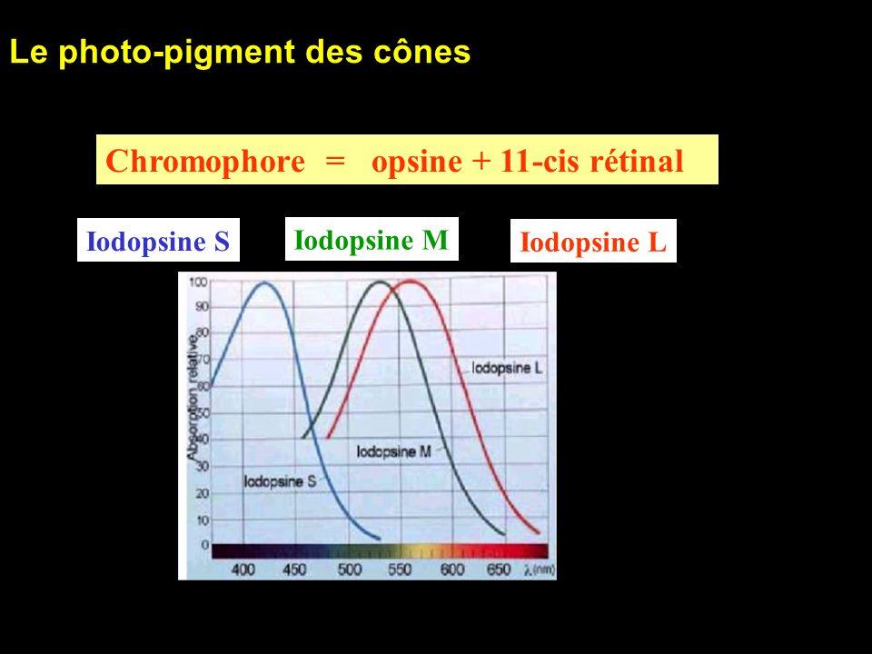 30 Le photo-pigment des cônes Iodopsine S Iodopsine M Iodopsine L Chromophore = opsine + 11-cis rétinal