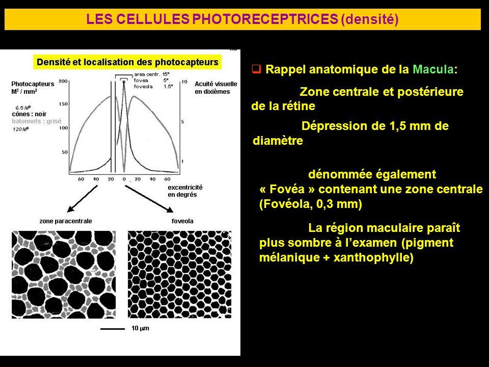 33 LES CELLULES PHOTORECEPTRICES (densité) Rappel anatomique de la Macula: Zone centrale et postérieure de la rétine Dépression de 1,5 mm de diamètre