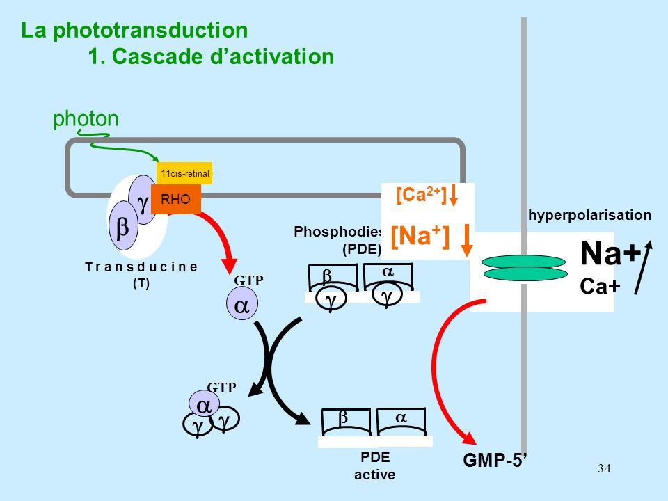 34 all-trans retinal photon La phototransduction 1. Cascade dactivation 11cis-retinal RHO cGMP Ca 2+ Na + T r a n s d u c i n e (T) GDP Phosphodiestér