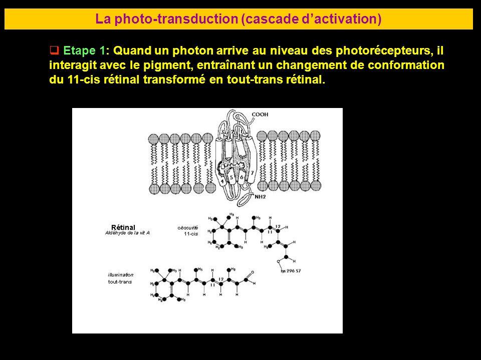 35 La photo-transduction (cascade dactivation) Etape 1: Quand un photon arrive au niveau des photorécepteurs, il interagit avec le pigment, entraînant