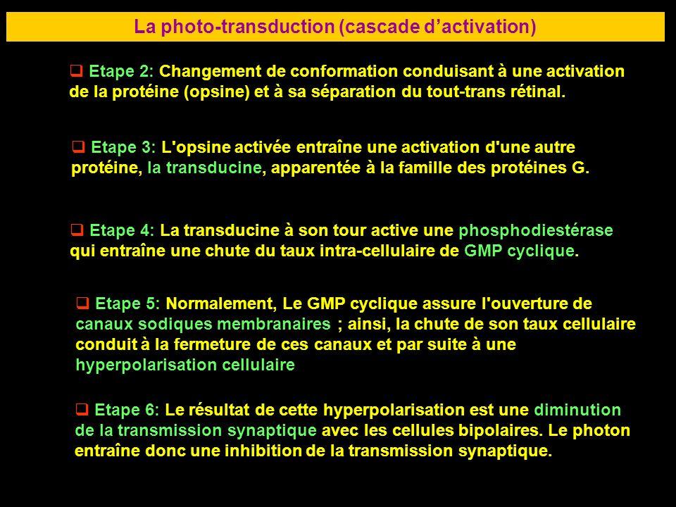 36 La photo-transduction (cascade dactivation) Etape 2: Changement de conformation conduisant à une activation de la protéine (opsine) et à sa séparat